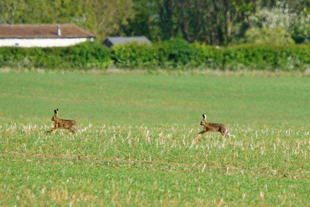 Hares running at RSPBs Hope Farm in Knapwell. Picture: Paul Brackley