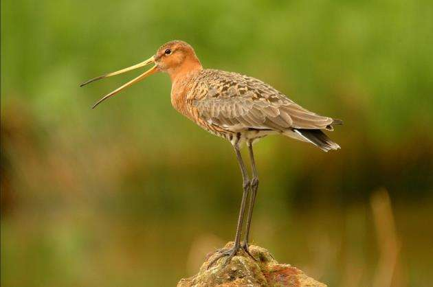 An adult black-tailed godwit. Picture: David Morris, RSPB