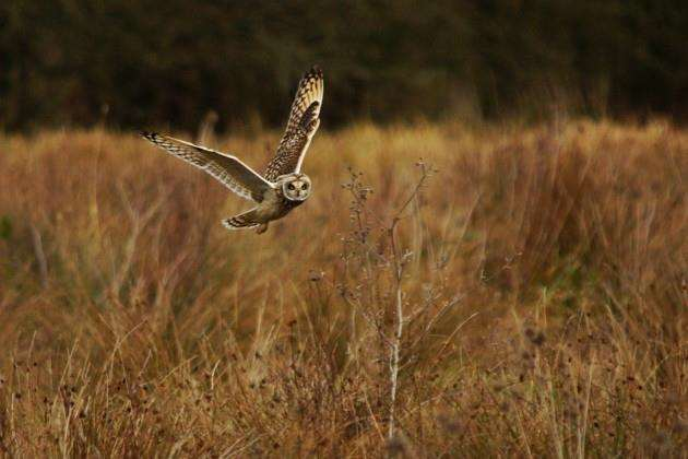 A short-eared owl in flight over a field of long grass at RSPB Fen Drayton Lakes, Cambridgeshire Picture: Paul Brackley