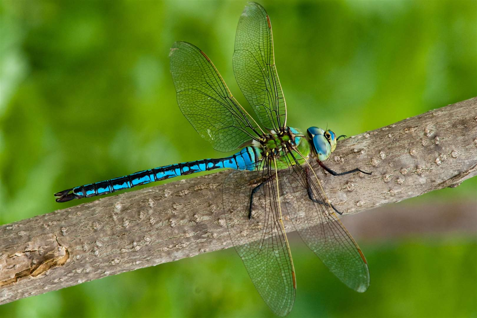 A male emperor dragonfly (15612360)