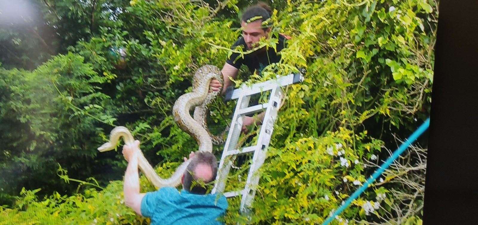 The moment Turin the python was recaptured in Cambridge. Picture: Michael Barton
