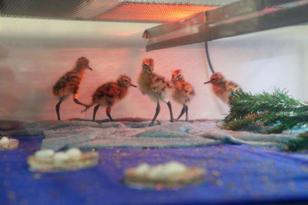 Headstarted godwit chicks at WWT Welney. Picture: Bob Ellis, WWT